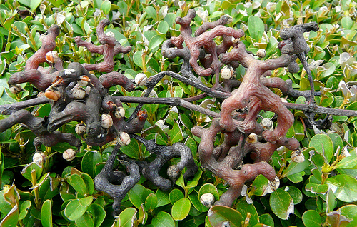 Japanese Raisin Tree