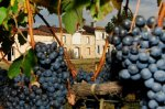 Grapes at Tayet