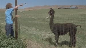 napolean and llama