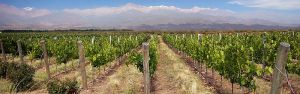 Malbec vines, with Andes in background