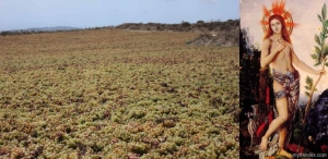 Assyrtiko drying and St. Apollo, who dries them.