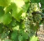 Viognier on the vine.