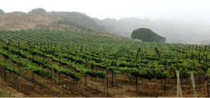Monterey vineyard, morning