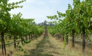 Madera grapes on the hoof