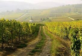 Alsatian vineyard.