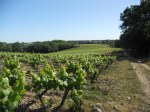 Muscadet vineyard