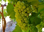 Chenin grapes
