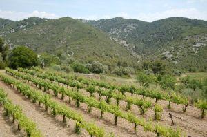 Catalan vines