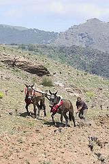 Spanish mules