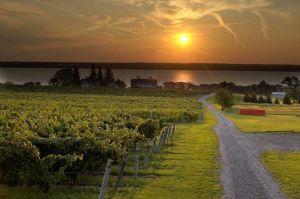 vinyards night