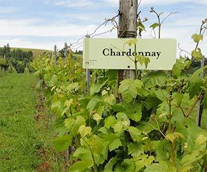 chardonnay-98-1-4
