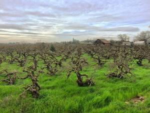 Old Vine Zin, photo courtesy Sean Piper