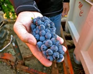 Mike McCay Lodi Native grapes