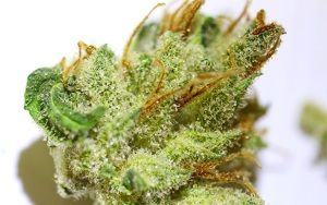 princess-leia-marijuana-strain-review