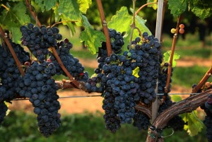 Cab Franc on the hoof